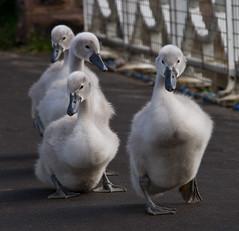 Waddle (jontlaw) Tags: gardens swan cygnet leamington spa warwickshire jephson