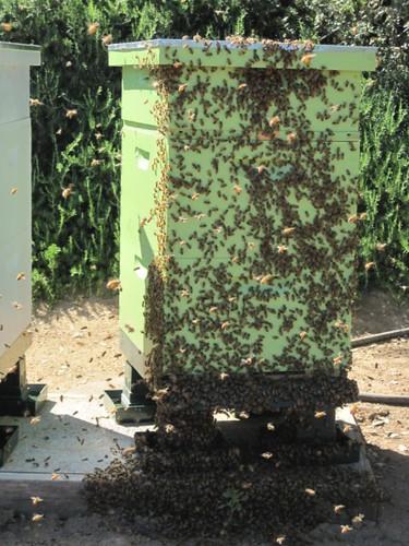 beekeeping 260 (450 x 600)