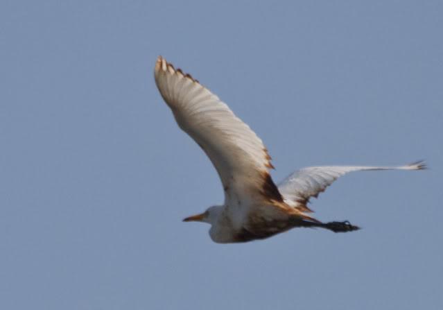 oily egret in flight