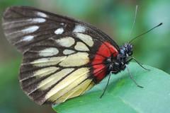 Red-Base Jezebel (anthonyleungkc) Tags: macro butterfly lumix hongkong insects panasonic f28 45mm elmarit m43 mft kowloonwalledcitypark deliaspasithoe redbasejezebel  microfourthirds dmcg2