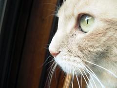 Try to See the World Through My Eyes (ZoeTaylor) Tags: light sun sunlight green eye closeup cat eyes feline cream kitty indoors buff emerald picnik