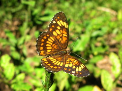 mariposa (jacilluch) Tags: butterfly bug insect costarica lepidoptera mariposa bicho animalia farfalla insecto bolboreta insecta  nymphalidae papilionoidea bichito nymphalinae  mariposadiurna ropalceros rhopalorocera