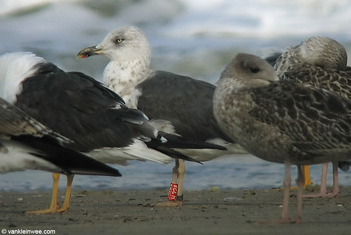 Lesser Black-backed Gull, 3cy, R[H328]