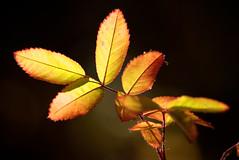 autumn|glows (DJHuber) Tags: autumn red wild sun canada green fall colors leaves rose yellow creek george glow bc rosa prince columbia varsity glowing british