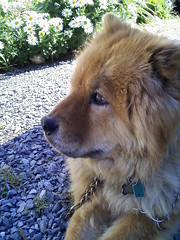 Sheba (Peachhead (4,000,000 views!)) Tags: red dog pet pennsylvania shy pa lehighvalley camerashy sheba chowchow purebred northamptoncounty slatebelt