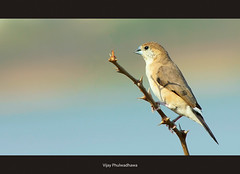 Bird : Indian Silverbill aka White throated Munia (Vijay..) Tags: white bird nature canon bokeh indian tc munia teleconverter 114 nagpur ruleofthirds throated kenko 14x silverbill composiiton explored ef70300 vijayphulwadhawa minimilasim