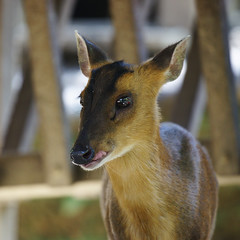 Formosan barking deer (ddsnet) Tags: animals sony hsinchu taiwan    900   peipu greenworld  abigfave 900