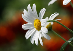 White daisy (Mukumbura) Tags: flowers light sun white flower macro nature beauty sunshine contrast garden petals bokeh details ngc sunny shade tulip stems daisy backdrop delicate margherita whitedaisy