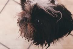 (whachadoin) Tags: dog color film analog shihtzu perro praktica lupe mtl3 prakticamtl3 pentacon50mm18