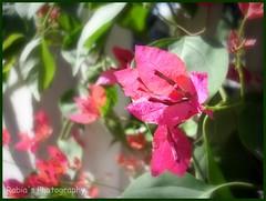 Shine! (wandering clouds) Tags: pink pakistan light plants sun sunlight macro leaves garden petals shine bougainvillea punjab delicate botany islamabad wanderingclouds