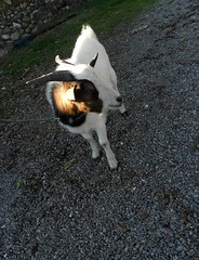 PA300155 (Tulay Emekli) Tags: animals goat pebbles goats ankara beypazar kei pebblestones backposted