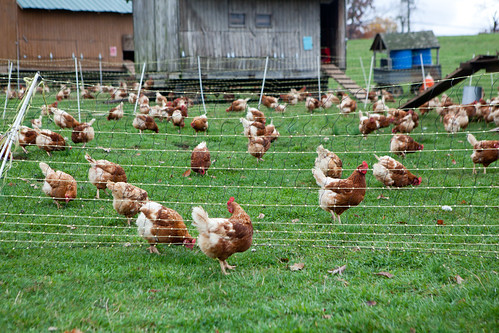 Chickens, chickens, everywhere