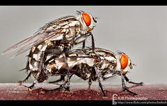 Housefly Mating (bnilesh) Tags: india macro closeup insect details mating indore housefly