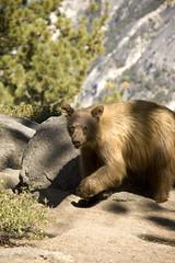 Beautiful bear (Sun Spiral) Tags: california bear usa nikon yosemite blackbear yosemitevalley