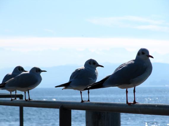 101112_Wasservögel_02