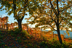 . (bluestardrop - Andrea Mucelli) Tags: langhe autunno autumn fall piemonte piedmont viti vines