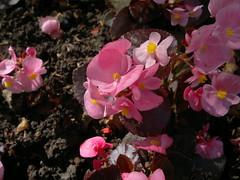 2017-06-11-9367 (vale 83) Tags: begonia nokia n8 macrodreams friends flickrcolour colourartaward coloursplosion beautifulexpression
