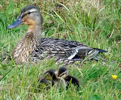 Malard ducklings (stuartcroy) Tags: orkney island mallard duckling ducks diving duck