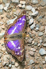 Purple Emperor (~ **Barbara ** ~) Tags: butterfly purpleemperor large elusive rare woodland fermyn northamptonshire uk ground purple colour male canon7dii