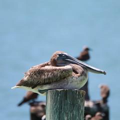 Brown Pelican (W + S) Tags: keywest floridia fl bird nature birdwatching birds birdlover birding dry tortugas np garden key drtortugas brown pelican