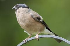 (106) Bird - Female Bullfinch - Sam's Garden (NikonJeremy) Tags: femalebullfinch bullfinch bird harleston norfolk