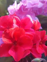 Red & pink (Iggy Y) Tags: pelargonium grandiflorum pelargoniumgrandiflorum hydrangea macrophylla spring blossom flower red pink colors natural nature park garden plant engleskapelargonija engleska pelargonija hortenzija hortensia velelisna velelisnahortenzija sunny day light cvijeće