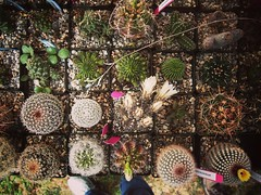 Striking Succulents and Captivating Cactus Los Angeles Cactus & Succulent Society Plant Show & Sale 2017 (lacactus.com) Spent an hour or so at the show on Saturday checking out all the great vendors and plants. #cactus #succulents #garden #plants #nature (dewelch) Tags: ifttt instagram striking succulents captivating cactus los angeles succulent society plant show sale 2017 lacactuscom spent an hour or saturday checking out all great vendors plants garden nature la losangeles california iglosangeles losangelesgram whereamila instalosangeles caligrammers lagrammers losangelesgrammers discoverla conquerla unlimitedlosangeles californiacaptures uglagrammers iggarden flowersofinstagram flowerstagram treestagram rainbowpetals plantstagram