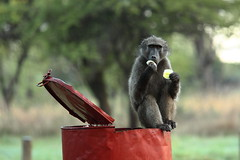Recycling (@richlewis) Tags: nature canon southafrica eos dof bokeh wildlife bin rubbish baboon recycling campsite gamereserve pilanesbergnationalpark vob 450d canonef70200mmf4lisusm canonef14xiiextender
