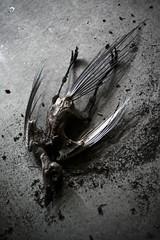 desiccated (Zak Ezzati) Tags: urban bird abandoned broken radio skeleton wings factory decay pigeon explore forgotten urbanexploration bones disused derelict marconi urbex desiccated ezzati zakezzati