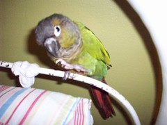 203_0373 (yellerhammer) Tags: green bird cheek parrot conure gcc