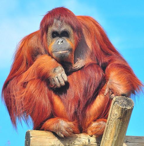 フリー画像|動物写真|哺乳類|猿/サル|オランウータン|フリー素材|