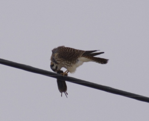 american kestrel with rodent_3