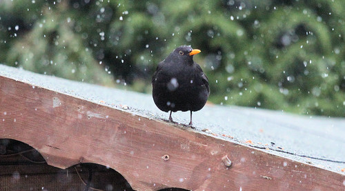 Blackbird in the Snowfall