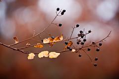 Berries & Bokeh (HisPhotographs.com) Tags: blue winter usa brown leaves canon ga georgia eos us leaf branch berries dof bokeh adobe strong savannah xsi sav lightroom 450d