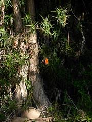 Aloe ciliaris (Mat.Tauriello) Tags: sardegna city urban plant garden landscape succulent aloe mediterranean mediterraneo sardinia botanic asphodelaceae aloeaceae botanicalgardens cagliari sardinien citta cerdeña orto aloes xerophyte xerophytes casteddu sardenya karalis hyacinthaceae succulente sardigna ciliaris xanthorrhoeaceae geophyte caralis aloeciliaris sardinnia sardìnnia ortobotanicodicagliari sardíngia asfodelacee