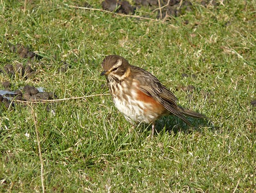 11896 - Redwing at Mewslade, Gower