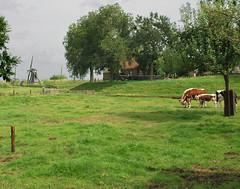 Enkhuizen - paysage agricole (Iwokrama) Tags: moulin enkhuizen vaches pr