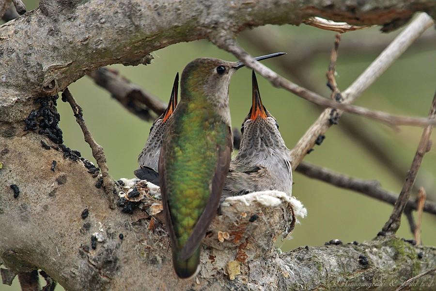 Anna's Hummingbird nest 09001-6
