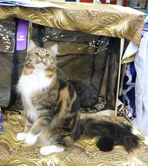 Tabby Maine Coon Cat (Philosopher Queen) Tags: cats cat chat houston gato kitties catshow mainecooncat houstoncharitycatshow