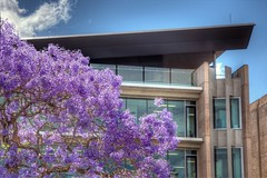 UQ: Jacaranda trees outside the Sir Llew Edwards building (UQ Centenary) Tags: university queensland jacaranda the