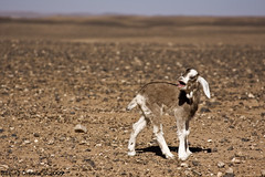 Tinc fam. (Miquel, fotos mel.) Tags: sahara animal tongue desert arena lengua desierto marruecos cabra marroc piedras tierra cabrita llengua