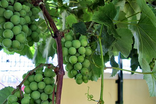 Vitis vinifera (rq) - 02
