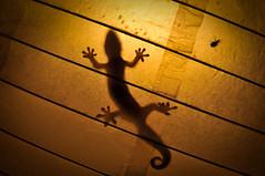 Midnight Gecko (KJELL LINDER) Tags: night bug paper hawaii hunting maui lizard gecko lantern hunt