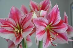 In Full Bloom... (AGreatEuropeTripPlanner!) Tags: flowers flores fleurs blumen amaryllis fiori fiore bloemen candystriped blhen bloeien florecen perfectpetals fabulousflowers florescem