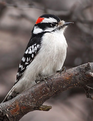 Woody (Tony Tanoury) Tags: wild tree bird nature animal closeup fauna bill woodpecker downywoodpecker picoidespubescens princess michigan wildlife beak feather perch downy ornithology birdwatching avian naturesfinest blueribbonwinner supershot mywinners maledowny avianexcellence maledownywoodpecker princessbluejay