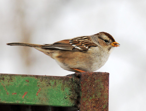 white crowned sparrow immature on green metal 2