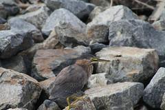 Bird (Miles_79) Tags: huntingtonbeach bolsachicawetlands