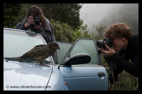 Kea and reporters - Arthur's Pass, NZ