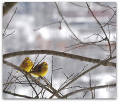 Birds in my garden (Tone aka Hobbygaasa) Tags: bird norway yellowhammer bildekritikk nofk