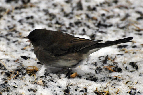 dark eyed junco snow 2